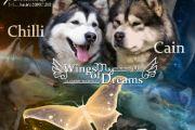 Wings of my dreams - nowy miot w naszej hodowli