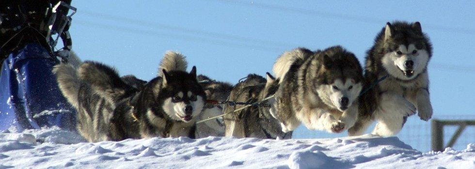 austrian wolf sled team